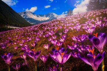 Wycieczka w Tatry - krokusy